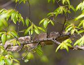 Winged Elm