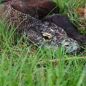 Close up shoot of comodo dragon relaxing in a lush grass. Indonesia, Rinca island