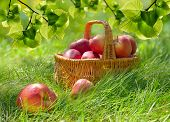 image of orchard  - Organic Apples in a Basket outdoor - JPG