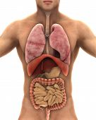 image of respiratory disease  - Human Body Anatomy Isolated on White Background - JPG