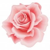stock photo of pink roses  - Isolated Beautiful Pink Rose on the White Background - JPG