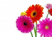 colorful gerberas on white background