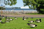 Flight Of Flying Geese In Park Of City Helsinki poster