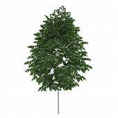 Tree isolated. Betula pendula