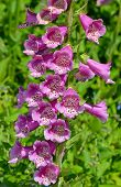Pink Spotted Foxglove Flowers