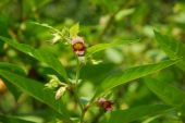 pic of belladonna  - the image shows the blossoms of atropa belladonna - JPG