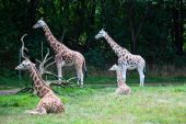 Group Of Attentive Girafe