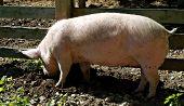 Pig Digging In Mud