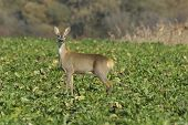 image of cleaving  - Deer in a autumn in sunny day - JPG