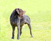 foto of scenthound  - A young beautiful liver black and white ticked German Wirehaired Pointer dog standing on the lawn - JPG