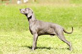 stock photo of pointed ears  - A young beautiful silver blue gray Weimaraner dog standing on the lawn with no docked tail - JPG