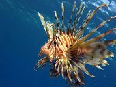 Flying lionfish