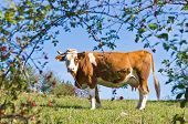 picture of serbia  - Cow on a mountain meadow at mount Bobija - JPG