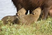 Carpincho (Capibara) Feeding Her Young