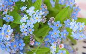 Background Of Delicate Flowers Forget-me-not