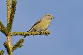 pic of crossbill  - Crossbill in natural habitat  - JPG