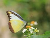 butterfly and blooming flowers - Appias lyncida eleonora