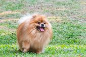 Pomeranian Dog Playing On Green Grass In The Garden