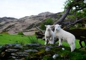 Sheep At Snowdonia