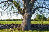 Big Old Ash Tree