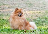 Pomeranian Dog Looking For Something On Green Grass In The Garden