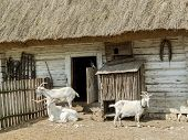 Typical old style Polish farmstead with thatched barn and three goats