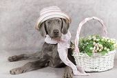Wirehaired Slovakian Pointer Dog