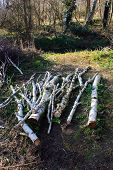 A Pile Of Silver Birch Logs