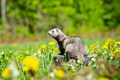 adorable ferret pet outdoors