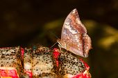 The Tawny Rajah Butterfly On Fruit