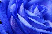Details Of Blue Flower Rose