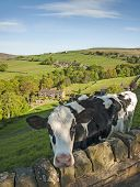 Dairy cows, Yorkshire