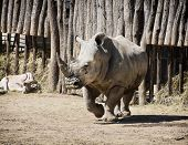 White Rhinoceros And Addax