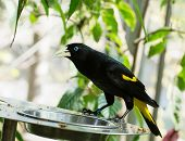 Yellow-rumped Cacique (cacicus Cela)