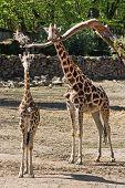 Rothschild's Giraffe (giraffa Camelopardalis Rothschildi) With Cub
