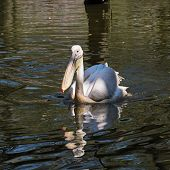 One Great White Pelican (pelecanus Onocrotalus) On The Lake