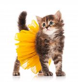 pic of puss  - Cute fluffy kitten posing dressed in the tutu over white background - JPG