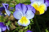 picture of viola  - Pansy  - JPG