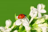 The Ladybug Creeps On White Flowers