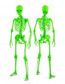 3D Human Skeleton. Posterior And Anterior View. Isolated. Contains Clipping Path.