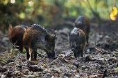 Boars in the forest