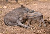 Wild Boar Feeding Their Baby