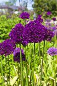 Purple alliums.