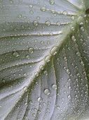 Leaf after rain. Water drops on a green leaf.