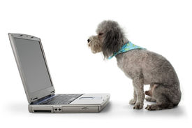 picture of toy dogs  - Silver toy poodle looking at computer screen - JPG