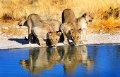 Pride of Lions drinking from waterhole