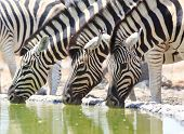 Zebra drinking from a waterhole