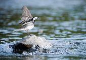 little bird landing on a river rock