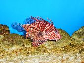 Lionfish Pterois Close Up
