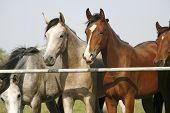 Purebred arabian horses standing in corral gate